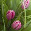 Букет цветов - Тюльпаны Букеты цветов с доставкой